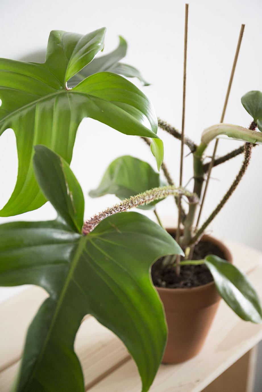 plante philodendron verte