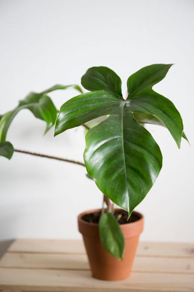 plante verte philodendron