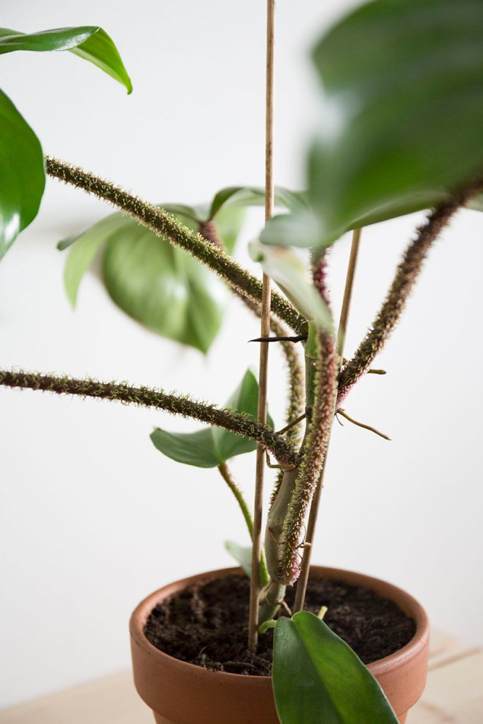 plante verte squamiferum
