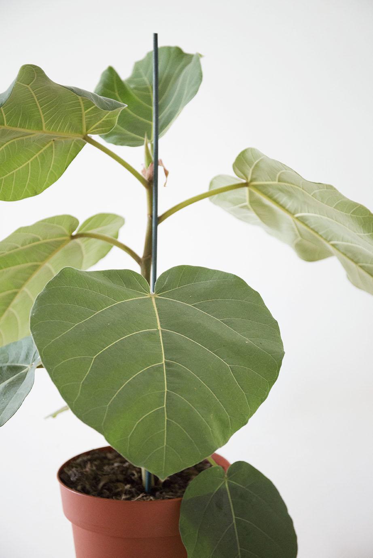 plante ficus everest