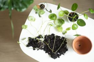 neo bouture plante