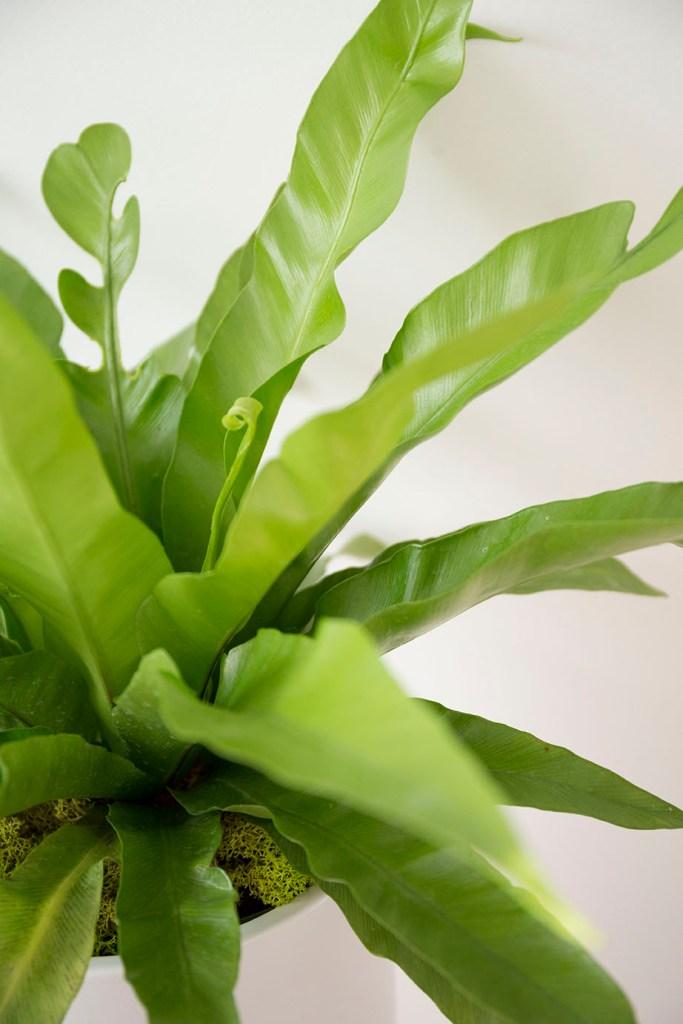asplenium nidus plante interieur