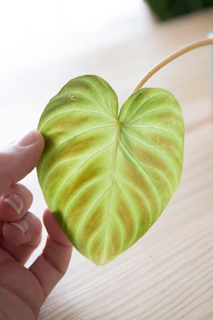 noe bouture plantes rares
