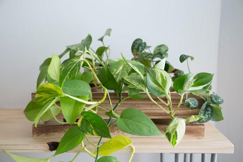 pothos plante interieur tombante