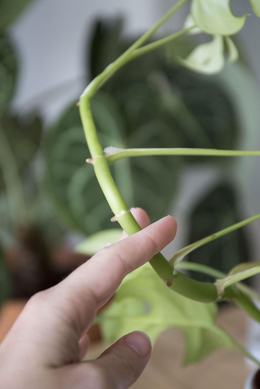 intérieur pincer plante