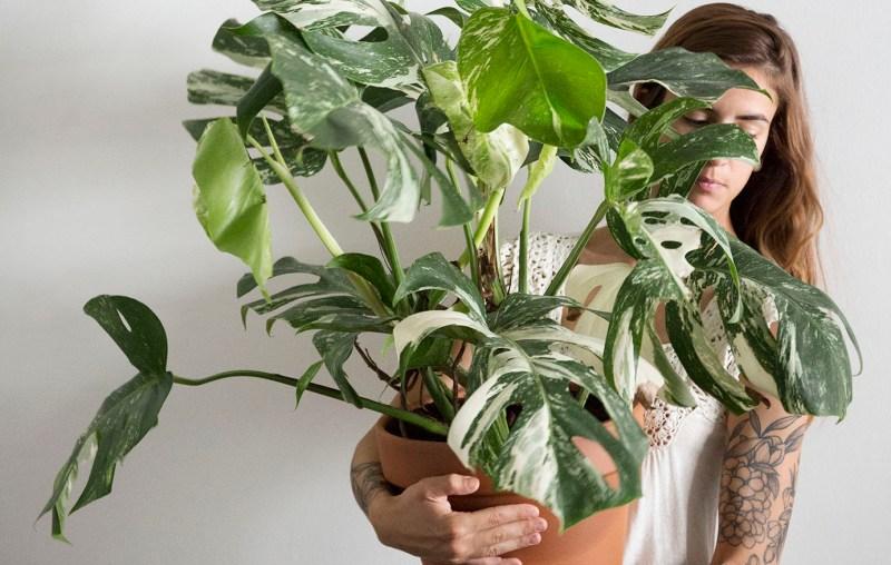 monstera variegata plante