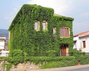 Wandbegrünung eines Wohnhauses mit wildem Wein