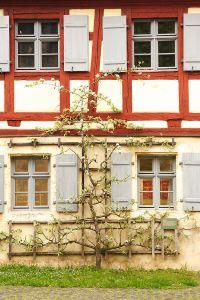"""Wandobst wächst mit einem Spalier an einer Hauswand"""""""