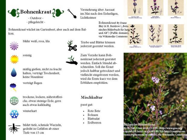 Pflanzenporträt Bohnenkraut
