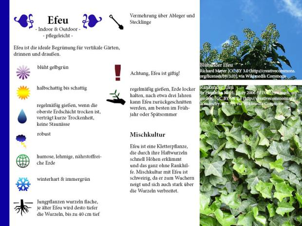 Pflanzenporträt Efeu