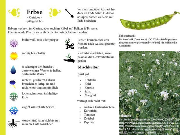 Pflanzenporträt Erbse