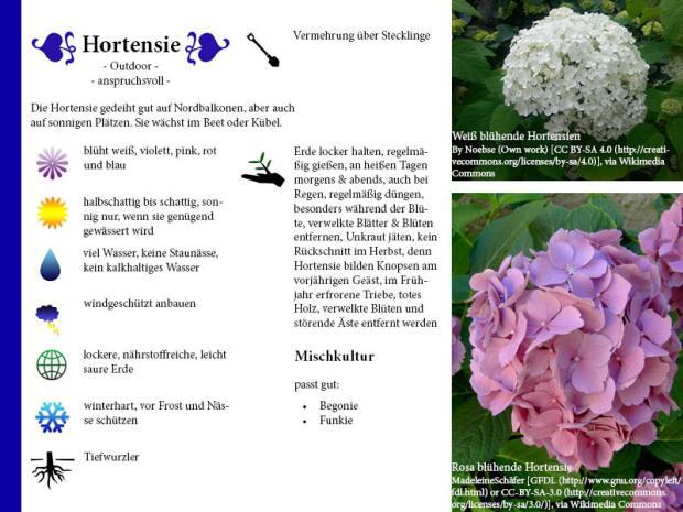 Pflanzenporträt Hortensie