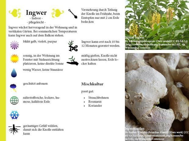 Pflanzenporträt Ingwer
