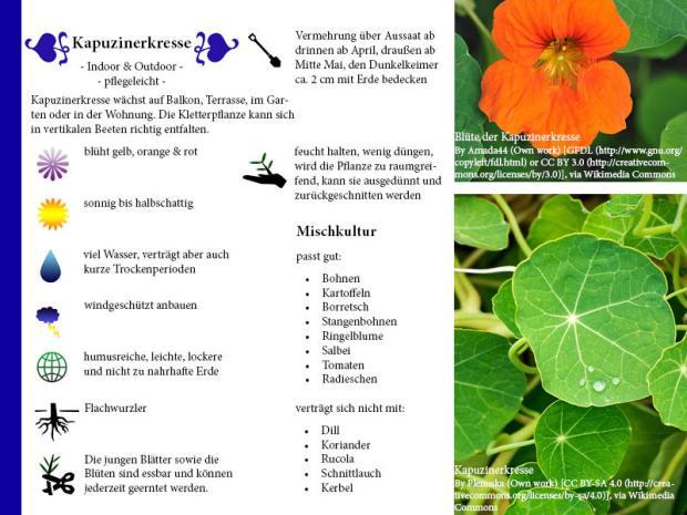 Pflanzenporträt Kapuzinerkresse