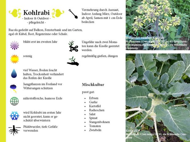 Pflanzenporträt Kohlrabi