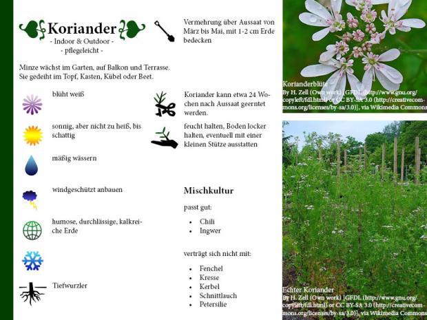 Pflanzenporträt Koriander