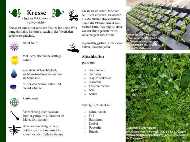 Pflanzenporträt Kresse