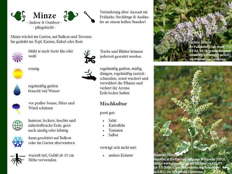 Pflanzenporträt Minze