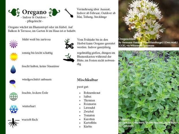 Pflanzenporträt Oregano
