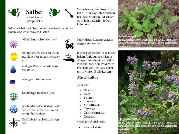 Pflanzenporträt Salbei
