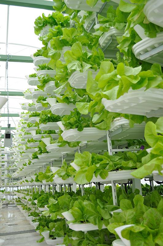 Salate wachsen in einer vertikalen Farm