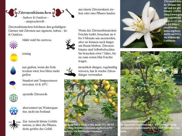Pflanzenporträt Zitronenbaum