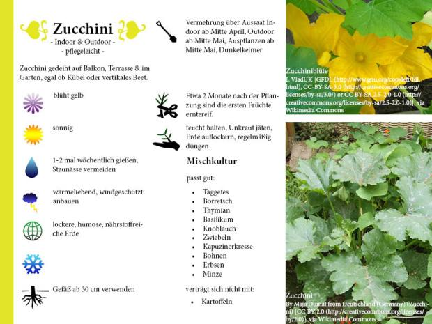 Pflanzenporträt Zucchini
