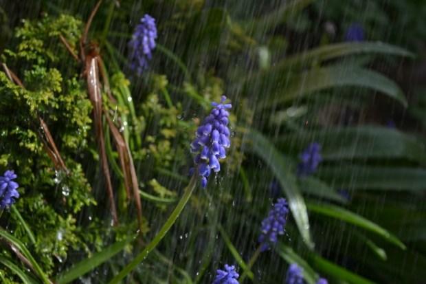 Lila Trauenhyazinthe an einem regnerischen Standort. Foto: Pixabay
