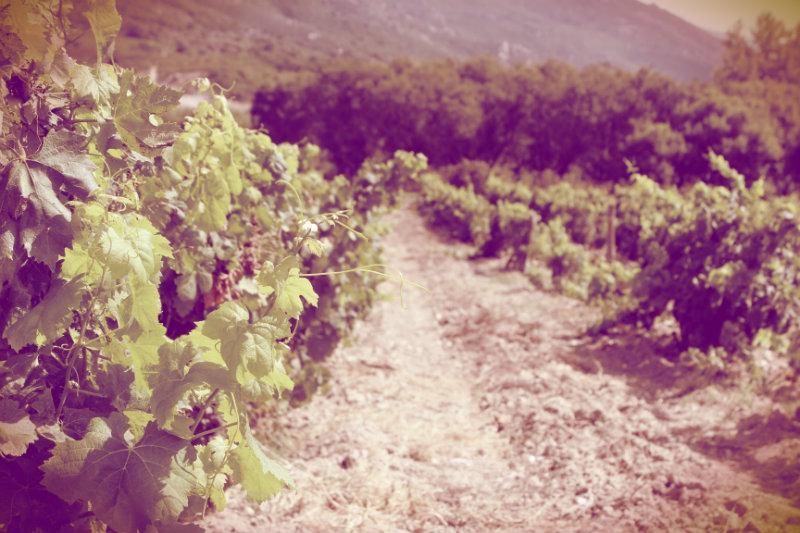 Photo des vignes du domaine Devichi en Corse