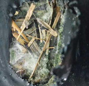 плесень в отверстии грибного блока вешенки