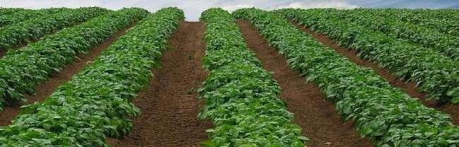 Голландский метод выращивания картофеля