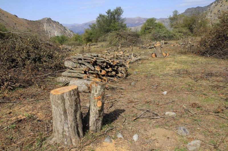 На Чарваке вырубили яблоневый сад