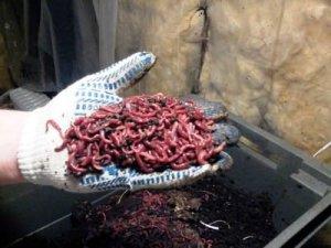 Производителям дождевых червей создали ассоциацию в Узбекистане
