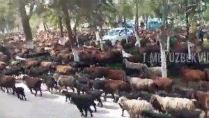 Стадо баранов пригнали местные жители в знак протеста к хокимияту в Самаркандской области