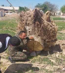 50 вековых деревьев вырубили в Карши