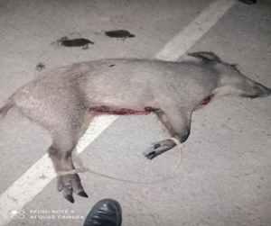 Тушу дикого кабана изъяли у браконьеров в Каракалпакии