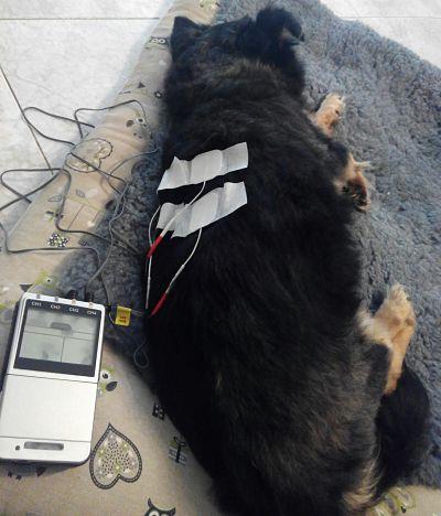 Electroterapia veterinaria perro