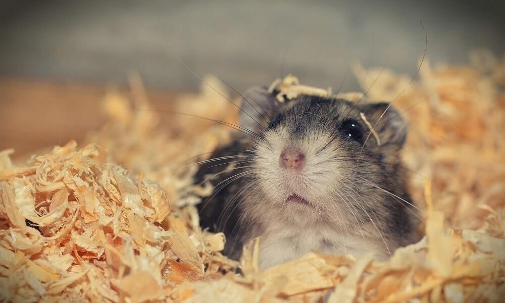 Hamster Bakım Rehberi