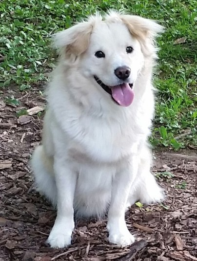 blind dog, white chow mix