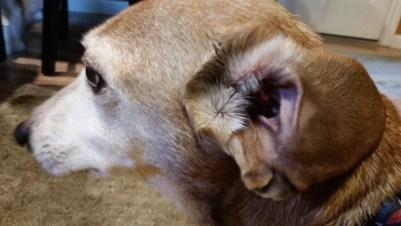dachshund ear