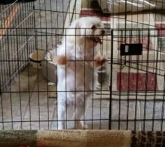 maltese in cage
