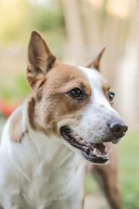 brown white dog