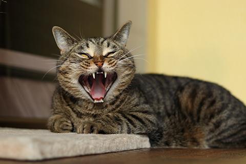 зубы у кошки