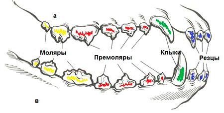 зубы собаки схема