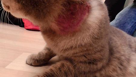 Как помочь коту от блох