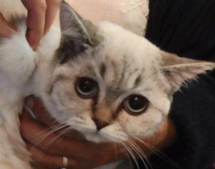 Может ли хвост не подниматься привоспаление анальных желез у кота