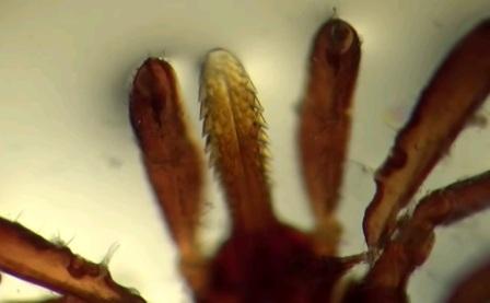 Хобот клеща под микроскопом