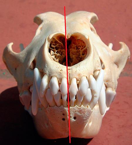 череп собаки с зубами
