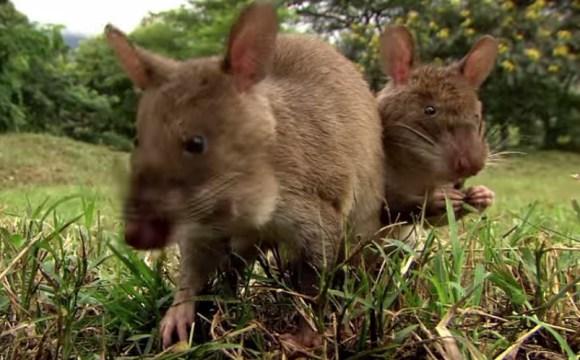крысы переносят лептоспир