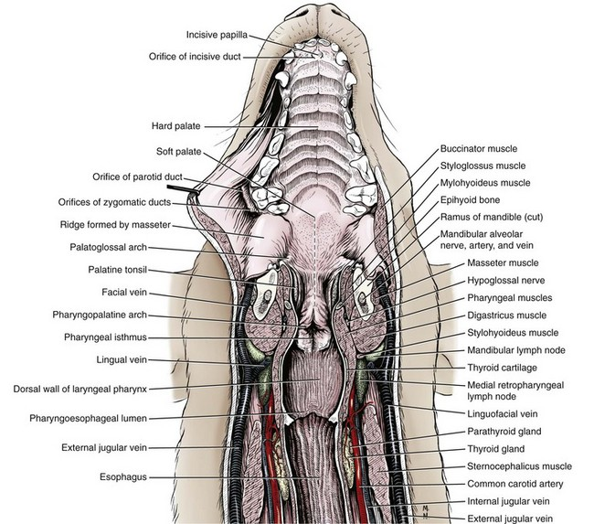Cat Neck Muscles Diagram